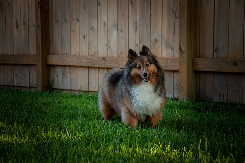 Portrait of a Mahogany Shetland Sheepdog Sheltie