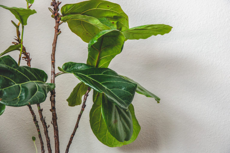 Fiddle Fig Tree leaves
