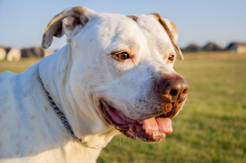 Portrait of a Dogo Argentino