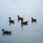 Canada Geese in Pond
